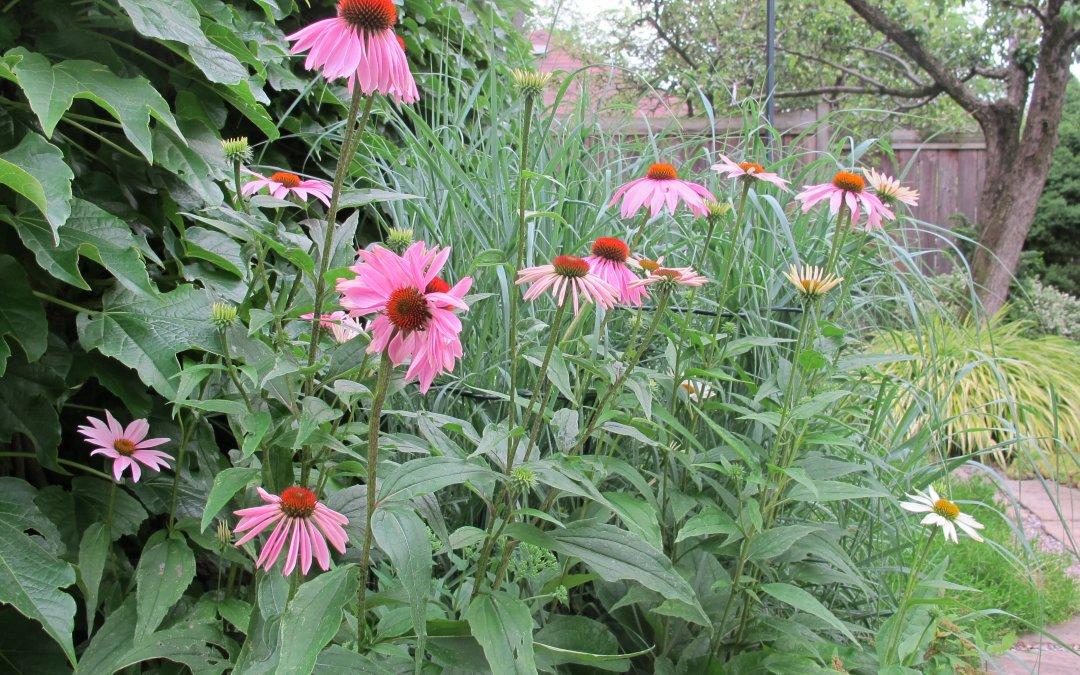 """The """"Janus"""" Echinacea"""