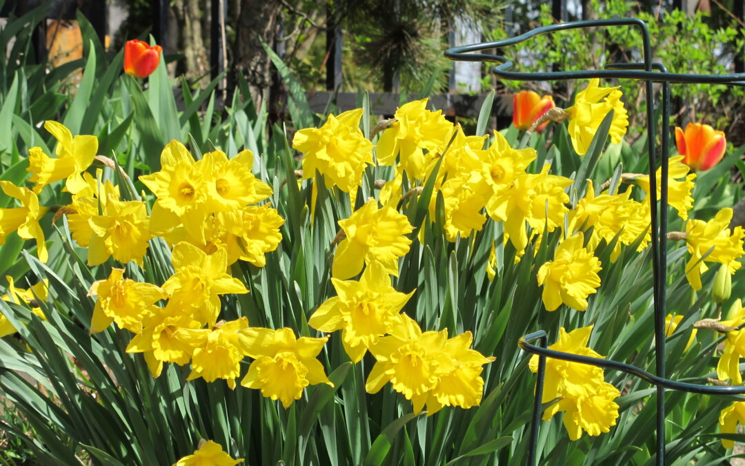It's March and the daffs are coming.